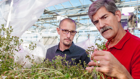 At a Method Road greenhouse, Dr. Gabe Gusmini (right), of PepsiCo, reviews NC State stevia research with plant breeder Dr. Todd Wehner.